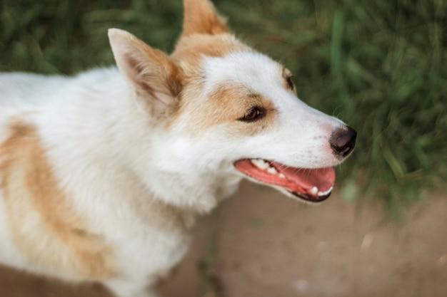 若い赤と白の犬の肖像画。クローズアップ撮影。セレクティブフォーカス。