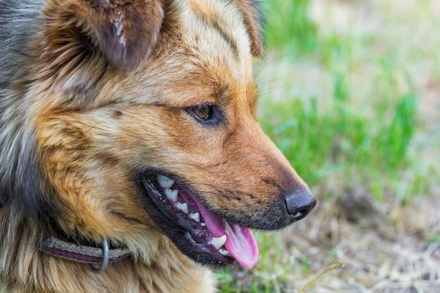 Profile_の若い毛むくじゃらの犬のクローズアップの肖像画