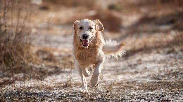 Портрет очаровательной собаки золотистого ретривера во время бега в поле с сухой желтой травой ...