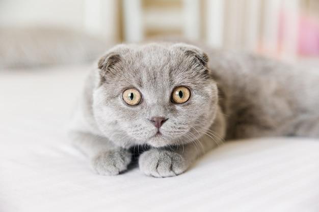 愛らしいスコティッシュフォールドの灰色の猫の肖像画