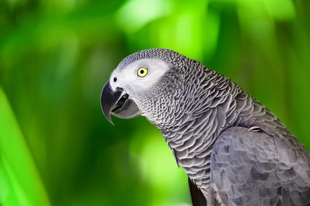 ジャングルに対するアフリカ灰色のオウムの肖像画。緑の背景に野生の灰色のオウムの頭の側面図。人気のあるペットの品種としての野生生物と熱帯雨林のエキゾチックな熱帯の鳥。