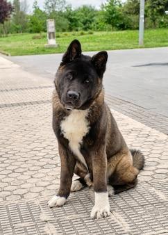 Портрет собаки американской акиты, сидящей