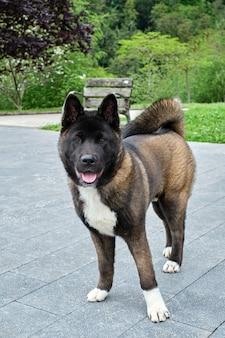 Портрет собаки американской акиты стоя