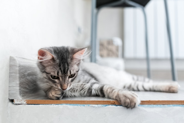 自宅でアメリカンショートヘアの子猫の肖像画。