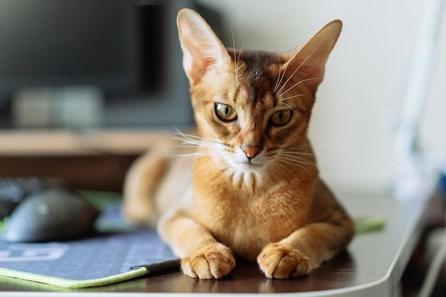 Портрет абиссинской кошки в домашних условиях. милый котенок отдыхает на рабочем столе
