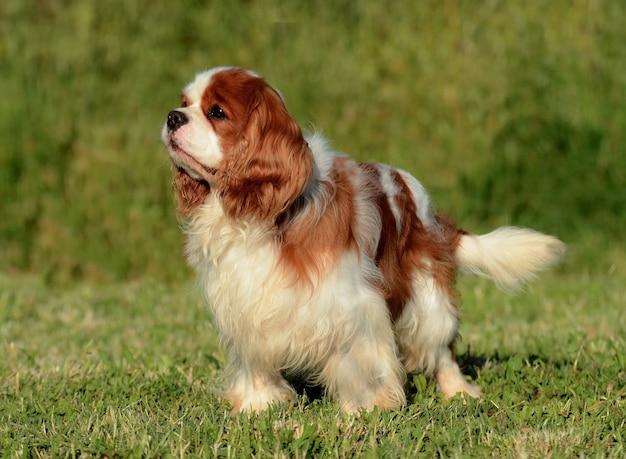 잔디에 서 있는 사랑스러운 갈색 캐벌리어 킹 찰스 강아지의 초상화
