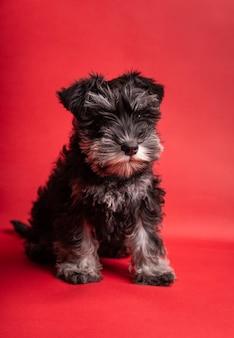빨간 위에 앉아 있는 사랑스러운 미니어처 강아지 슈나우저의 초상화