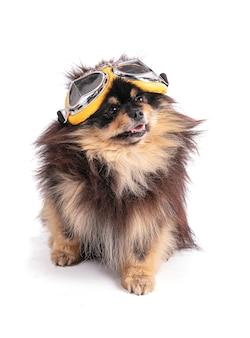 Портрет очаровательного померанского биколора в очках-авиаторах на белой стене