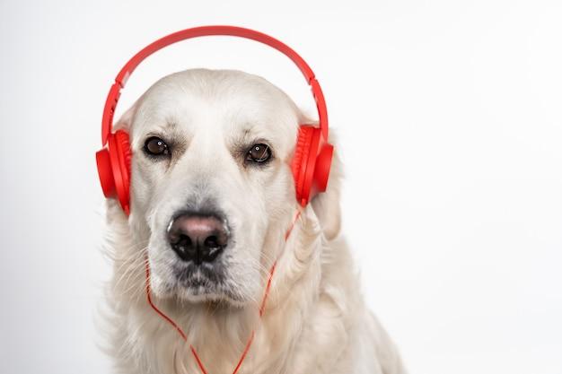 灰色の赤いヘッドフォンで愛らしいホワイトゴールデンレトリバーの肖像画