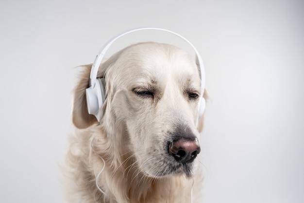 灰色の壁に白いヘッドフォンで愛らしいホワイトゴールデンレトリバーの肖像画