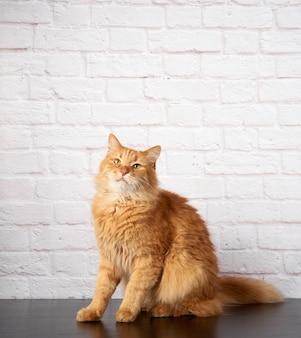 白いレンガの壁に大人のふわふわ生姜猫の肖像画