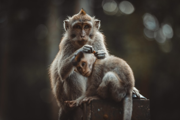 モンキーフォレスト、ウブド、バリ島の大人の猿の肖像画