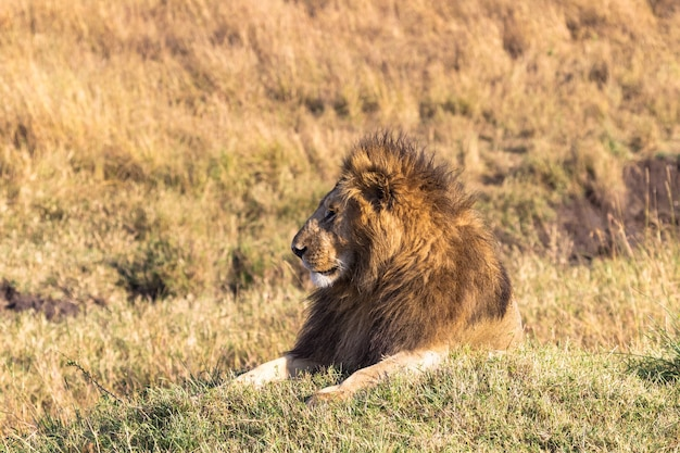 丘の上のアフリカのライオンの肖像画マサイマラケニア