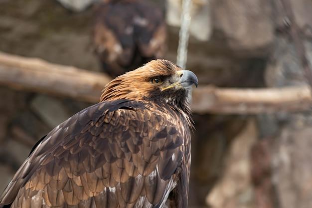 Портрет внимательного беркут, сидящего на земле. естественный крупный план хищной птицы. гриф или ястреб.