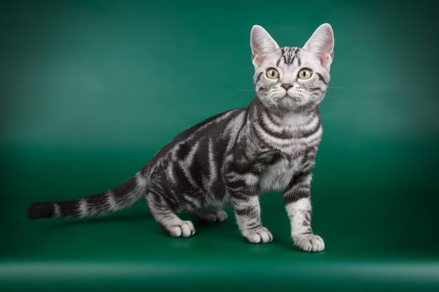 色付きの壁にアメリカンショートヘアの猫の肖像画