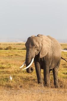 アンボセリケニアアフリカからの象の肖像画