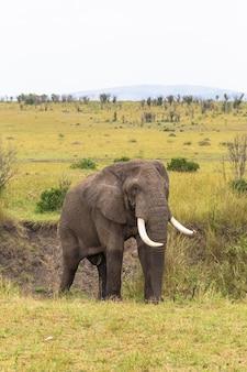 Портрет слона в саванне