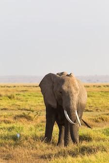 サバンナの背景に象の肖像画