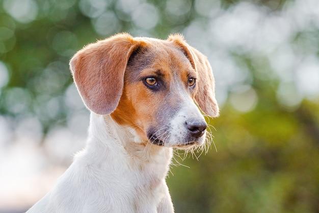 プロフィールのエストニアの猟犬のクローズアップの肖像画。犬の頭