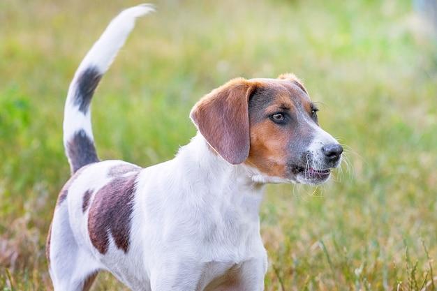 エストニアの猟犬の肖像画