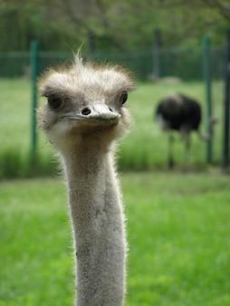 Портрет страуса на фоне травы крупным планом