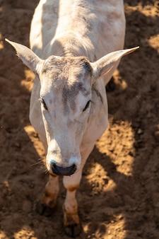 Портрет быка в конюшне с аукционным ларьком.