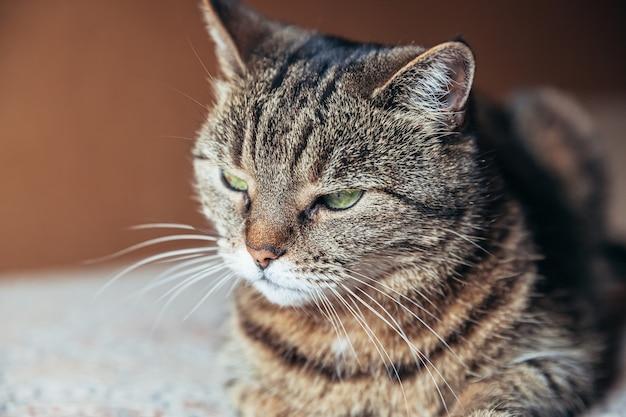 집에서 휴식을 취하는 오만한 짧은 머리 고양이의 초상화