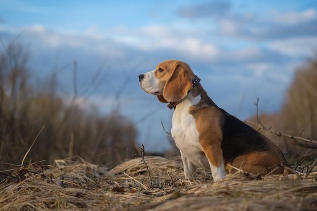 Портрет собаки породы бигль во время прогулки в лесу весенним вечером
