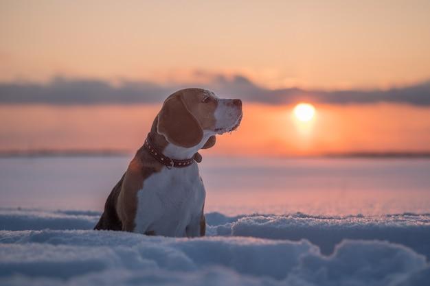 겨울 저녁에 일몰에 비글 강아지의 초상화