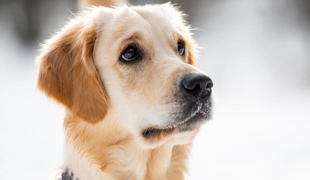 Портрет красивой собаки золотистого ретривера с добрыми глазами, смотрящими в сторону милой собачьей мордочкой, изолированной на ...