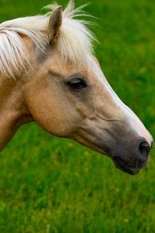 잔디 배경에서 아름 다운 말의 초상화입니다.