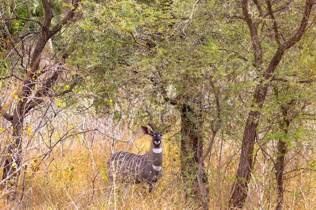 Портрет красивой куду в кустах меру кения африка
