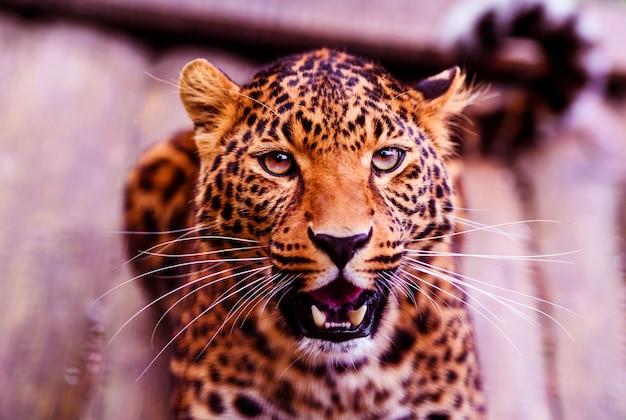 Портрет красивого леопарда крупным планом