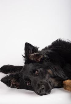 Портрет красивой смешанной породы бордер колли сука, лежа на боку, глядя на камеру. вертикальное изображение.