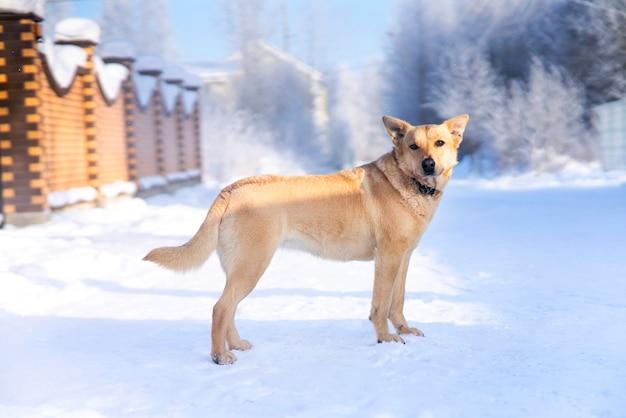 Портрет красивой беспородной собаки, стоящей на белом снегу в зимний холодный солнечный день возле забора дома. собачья охрана.