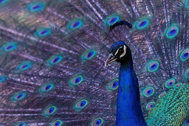 Портрет красивого павлина с распущенными перьями (крупная и яркая птица).