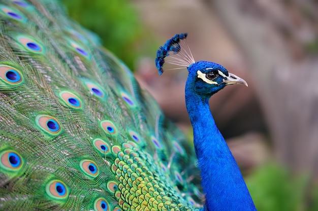 羽が出ている美しい孔雀の肖像画