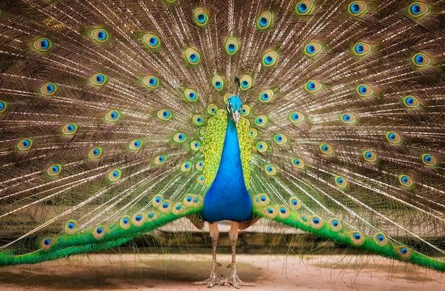 美しい孔雀の肖像画