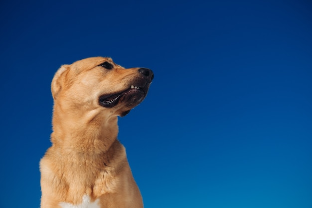 牧草地の美しい赤い髪の犬の肖像画。犬は丘の上に立って、ポーズをとって脇を見ています。