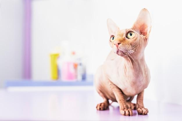 Портрет красивой кошки сфинкса. концепция домашних животных.