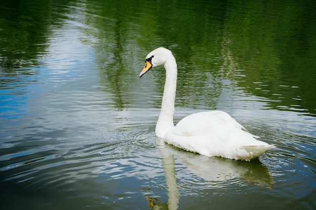 湖で泳いでいる美しい白い白鳥の肖像画