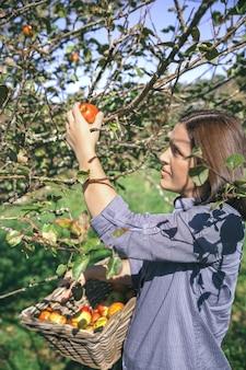 彼女の手に籐のバスケットと木から新鮮な有機リンゴを選ぶ美しい若い女性の肖像画。自然と収穫時期の概念。