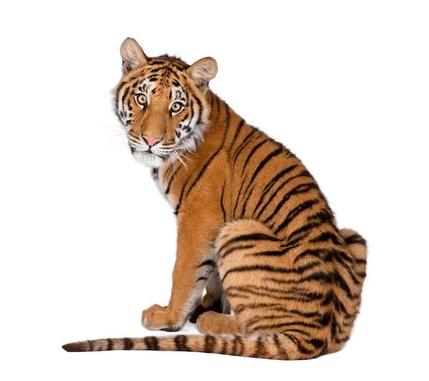 Портрет бенгальского тигра, сидит, пантера тигр тигр