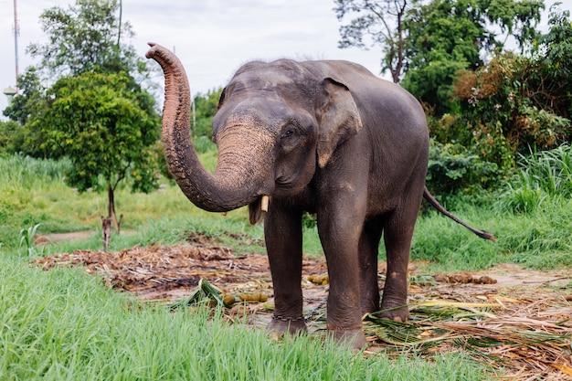 Beuatiful 태국 아시아 코끼리의 초상화는 녹색 필드에 서있다 손질 된 cutted 엄니와 코끼리