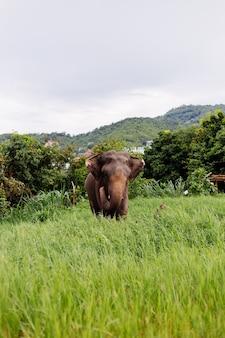 美しいタイのアジアゾウの肖像画は、トリミングされたカットされた牙を持つ緑の野原象の上に立っています
