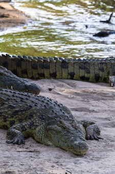 Портрет большого крокодила на берегу реки грумети, серенгети