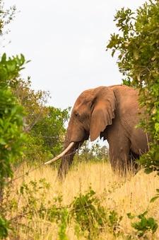 Портрет большого слона в кустах меру кения