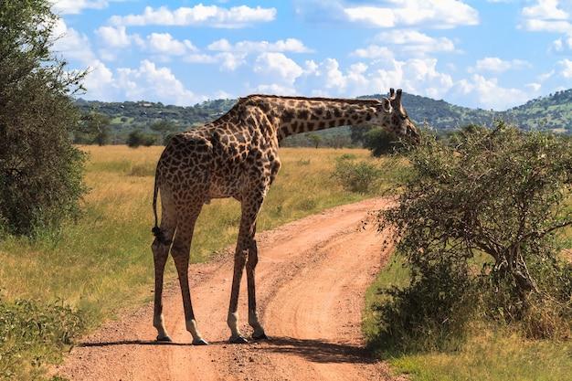 Портрет большого жирафа возле дерева. серенгети, танзания