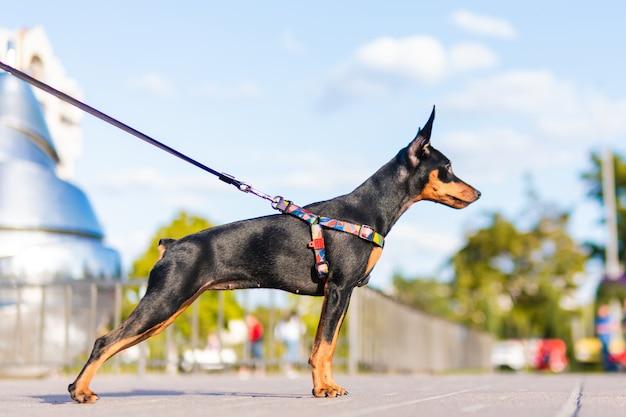 黒と黄褐色のミニチュアピンシャーの肖像画、クローズアップ、素敵な夏の日。かわいい犬