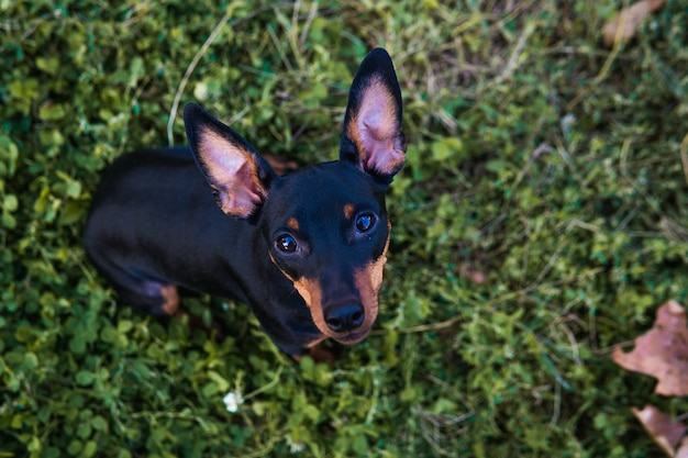 검은색과 황갈색 미니어처 핀셔의 초상화, 클로즈업, 좋은 여름날. 귀여운 강아지